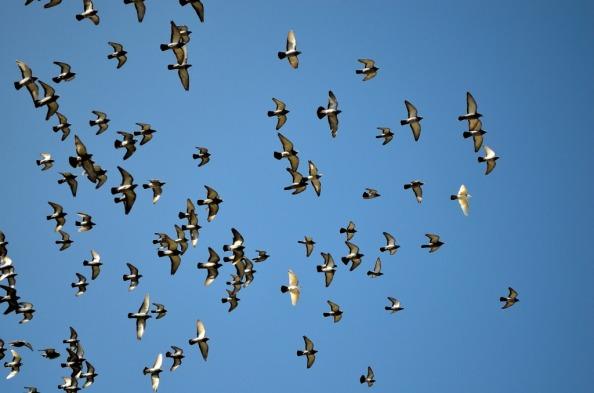 pigeons in sky